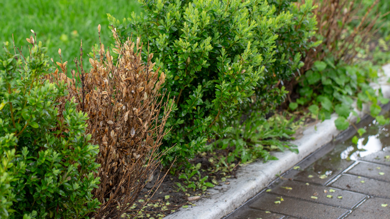 Example of Boxwood Blight