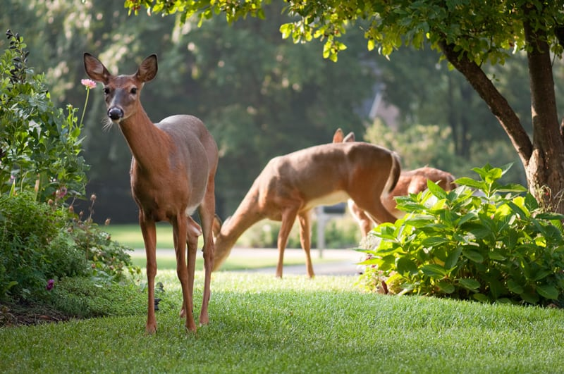 Deer Feeding on Residential Property
