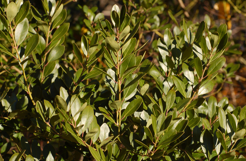 Inkberry Holly Closeup