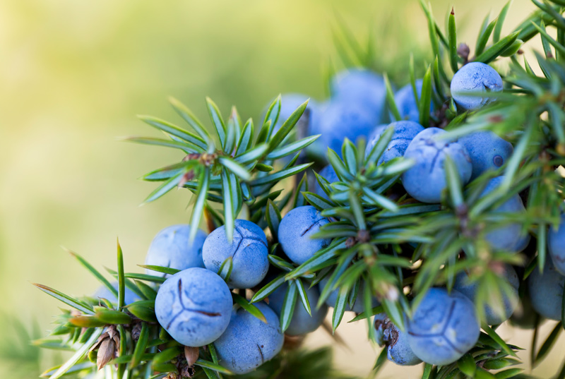Juniper Berries Closeup