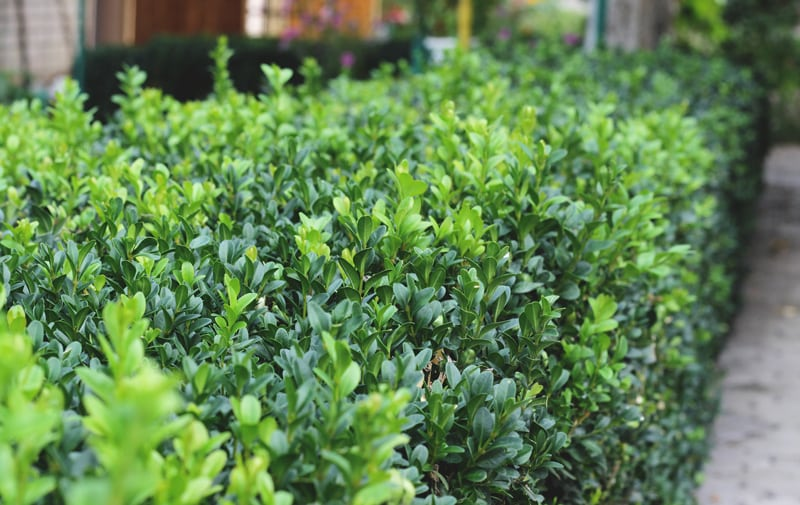 Boxwood Hedge