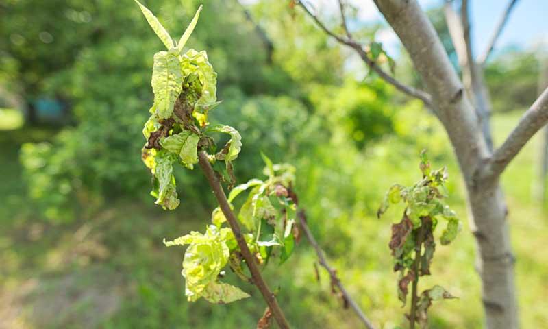 wilting-leaves